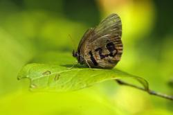 A St. Francis' satyr butterfly rests on a leaf in a swamp at Fort Bragg in North Carolina on Monday, July 29, 2019. It's wing was marked for identification by a biologist studying the rare insect