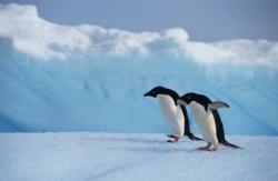 Same-Sex Penguin Couple Nabs Egg from Straight Neighbors