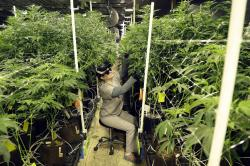 In this March 22, 2019, file photo, Heather Randazzo, a grow employee at Compassionate Care Foundation's medical marijuana dispensary, trims leaves off marijuana plants in the company's grow house in Egg Harbor Township, N.J.