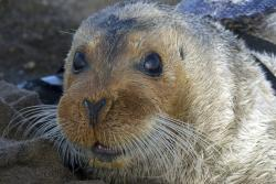 This Sept. 5, 2006, file photo, provided by the National Oceanic and Atmospheric Administration shows a bearded seal in Kotzebue, Alaska