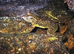 This Aug. 10, 2013 file photo shows a rare mountain yellow-legged frog in an alpine lake in Kings Canyon National Park, in California's Sierra Nevada