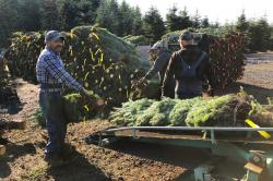 In this Dec. 5, 2019 photo, workers — most of them from Mexico — load Christmas trees onto a truck at Hupp Farms in Silverton, Ore.