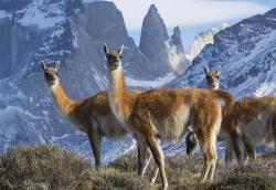 """This image released by BBC America shows a group of guanaco, close relatives to the llama, in Torres del Paines National Park in Chile, featured in the nature series """"Seven Worlds, One Planet,"""" premiering Saturday, Jan. 18 on BBC America, AMC, IFC and SundanceTV"""