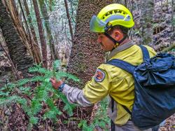 In this photo taken early Jan. 2020, and provided Thursday, Jan. 16, 2020, by the New South Wales National Parks and Wildlife Service, NSW National Parks and Wildlife Service personnel inspect the health of Wollemi pine trees in the Wollemi National Park, New South Wales, Australia