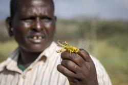 In this photo taken Thursday, Jan. 16, 2020, a Samburu man who works for a county disaster team identifying the location of the locusts, holds one on his hand near the village of Sissia, in Samburu county, Kenya
