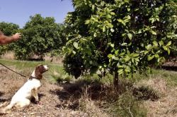 """In this April 2016 photo provided by the United States Department of Agriculture, detector canine """"Bello"""" works in a citrus orchard in Texas, searching for citrus greening disease, a bacteria that is spread by a tiny insect that feeds on citrus trees"""