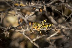 In this photo taken Tuesday, Feb. 4, 2020, a young desert locust that has not yet grown wings is stuck in a spider's web on a thorny bush in the desert near Garowe, in the semi-autonomous Puntland region of Somalia.