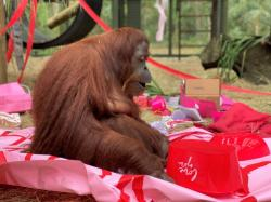 This Feb. 15, 2020 photo courtesy of the Center for Great Apes shows an orangutan named Sandra in Wauchula, Fla.