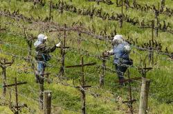 In this March 24, 2020, photo, farmworkers keep their distance from each others they work at the Heringer Estates Family Vineyards and Winery in Clarksburg, Calif.