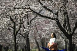 A person takes in the afternoon sun amongst the cherry blossoms along Kelly Drive in Philadelphia.