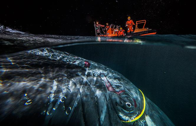 """""""The Rescue"""" from """"BigPicture: Natural World Photography"""" at the California Academy of Sciences. Photo: Audun Rikardsen/BigPicture"""