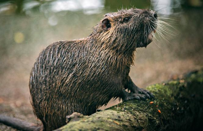 Nutria, also known as a swamp rat, is a semi-aquatic rodent native to South America. It's an invasive species in the Louisiana swamp. Photo: Chris Metzler, Tilapia Film