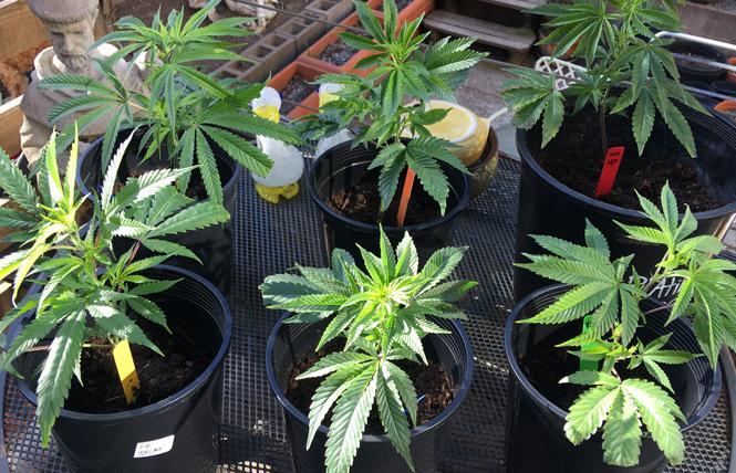 Adolescent cannabis clones. Photo: Sari Staver
