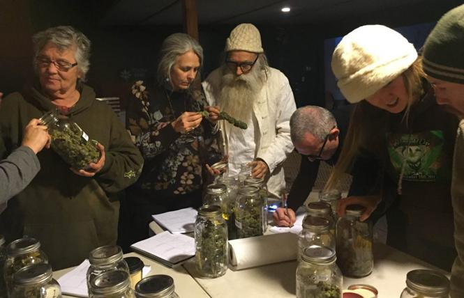 A judge examines cannabis at a previous Emerald Cup event. Photo: Courtesy Emerald Cup