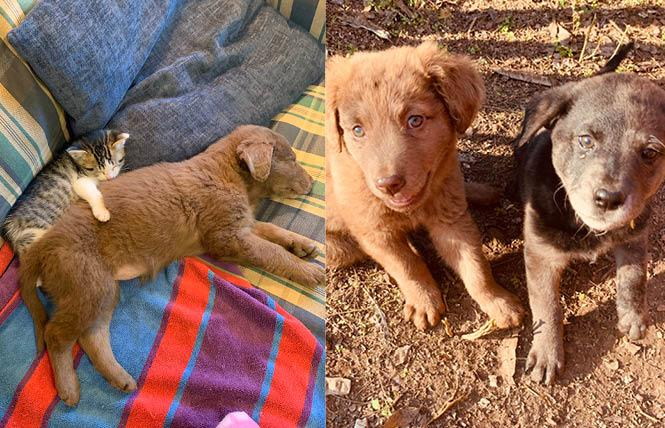 Shannon Minter and his wife, Robin, have adopted Squeaky, the kitten, and Albert, left. At right is Albert with Sister, another puppy the couple adopted earlier this month. Photos: Courtesy Shannon Minter