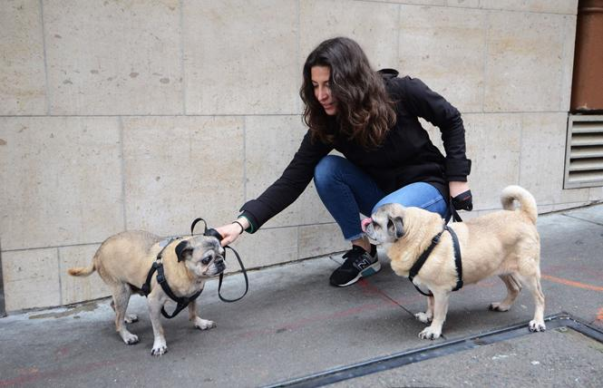PAWS volunteer Kristen Sinch walked pugs Bernie, left, and Juanito for Stephen Eisland April 12. Photo: Rick Gerharter