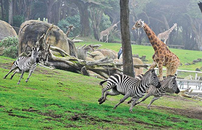 The San Francisco Zoo has moved its popular auction online. Photo: Courtesy SF Zoo