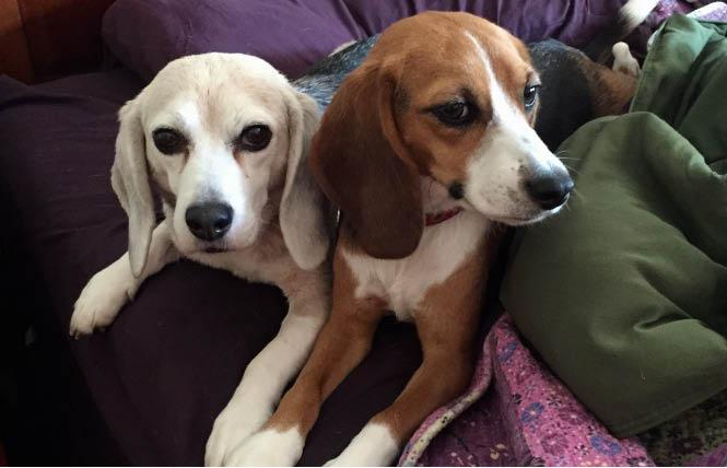 The author's retired research beagles, Beaker, left, and Zoe. Photo: Liz Highleyman
