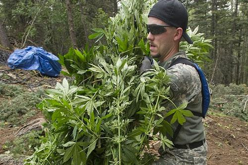 A Pueblo County Sheriff's deputy carries marijuana plants from a grow site on private property near the San Isabel National Forest above Rye, Colo., on Aug. 15, 2012