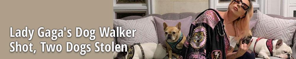 Lady Gaga's Dog Walker Shot, Two Dogs Stolen