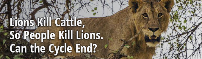Lions Kill Cattle, So People Kill Lions. Can the Cycle End?