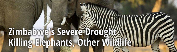 Zimbabwe's Severe Drought Killing Elephants, Other Wildlife