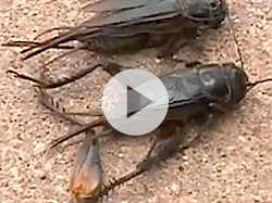 Bizarre Cricket Infestation Blankets Wichita, Kan.