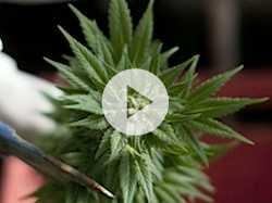 Medical Marijuana :: What Does Science Say?