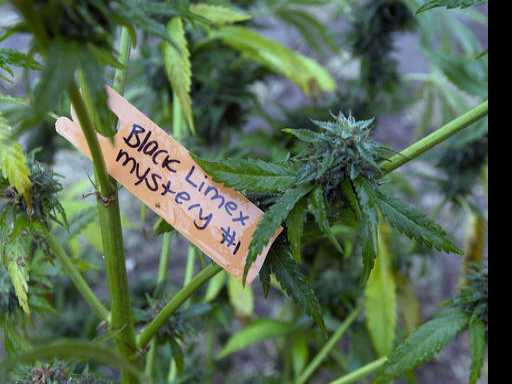 Weed as Way of Life: California Farmers Divided on Legal Bud
