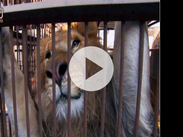 Saving the Lions