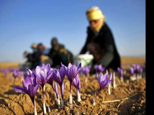 Saffron Growers Looking to Get Foothold in U.S.
