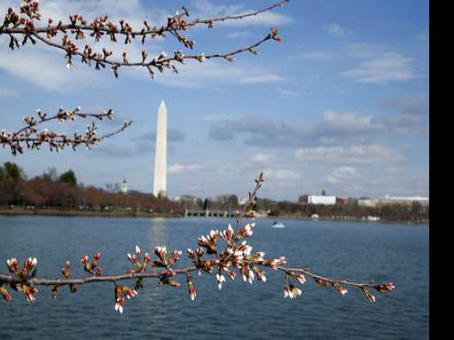 DC Cherry Blossoms Start to Bloom