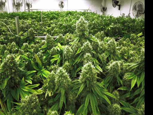 Illinois Considers Legalizing Marijuana for A Fiscal Boost