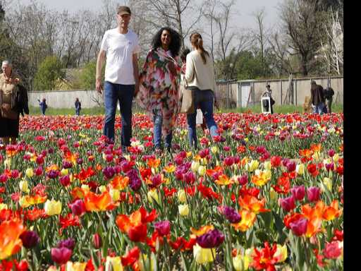 Dutch Tulips Spring to Life in Italy