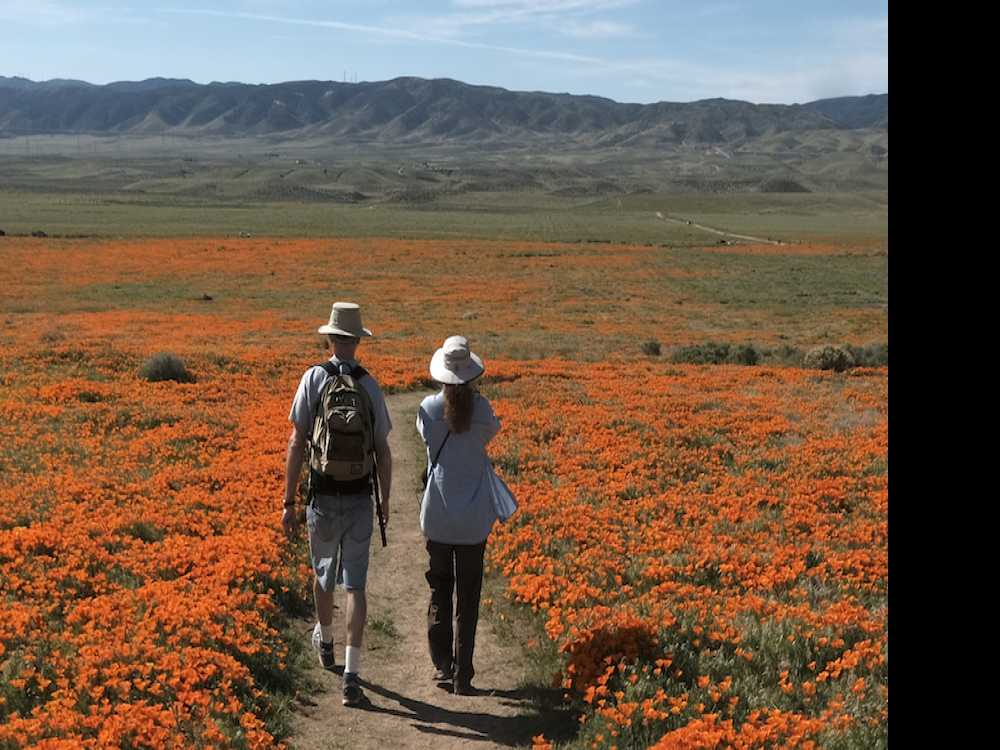 California's Desert Wildflower Explosion Draws Record Crowds