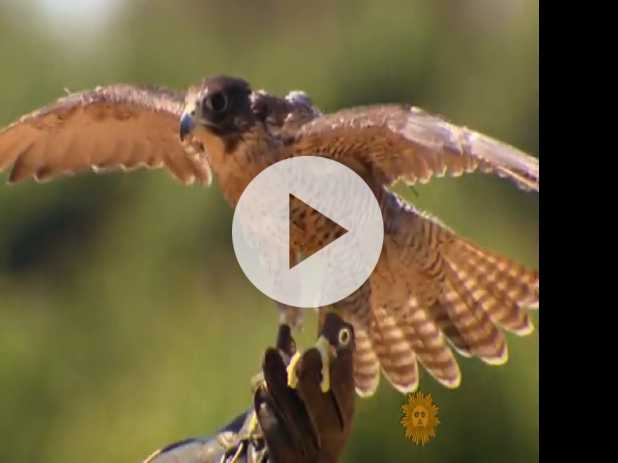 How Falcons Protect Vineyards