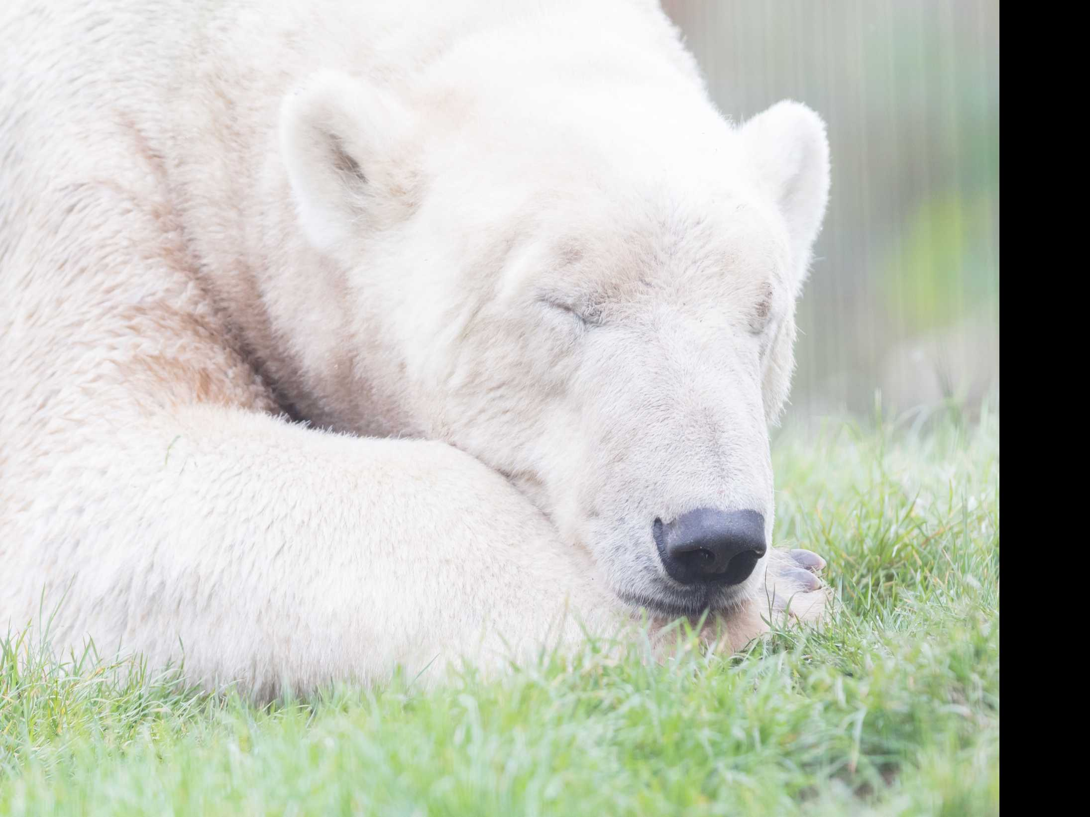 After Being Separated from Partner, SeaWorld Polar Bear Dies