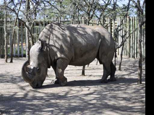 World's Last Male Northern White Rhino Gets Help from Tinder