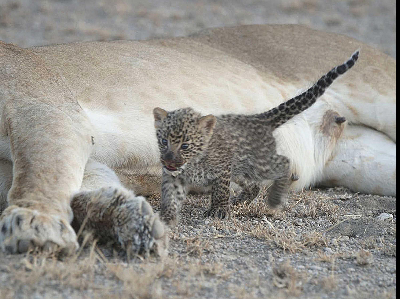 'Extremely Unique:' Lion Nurses Leopard Cub in Tanzania