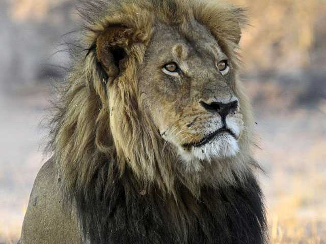 Killing of Cecil's Son Highlights Peril Facing African Lions