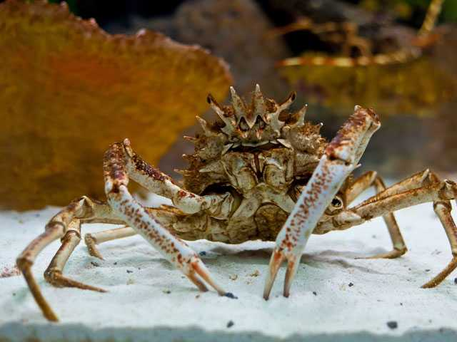 Ocean Acidification Could Threaten Alaska Crab Populations
