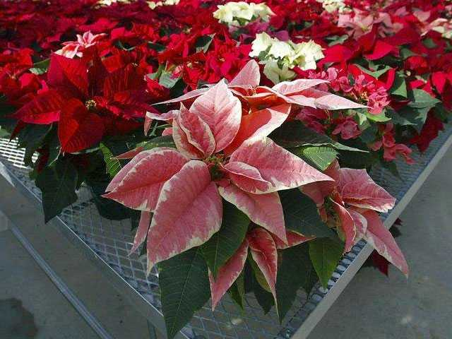 From Poinsettias to Raw Cookie Dough: 5 Holiday Truths