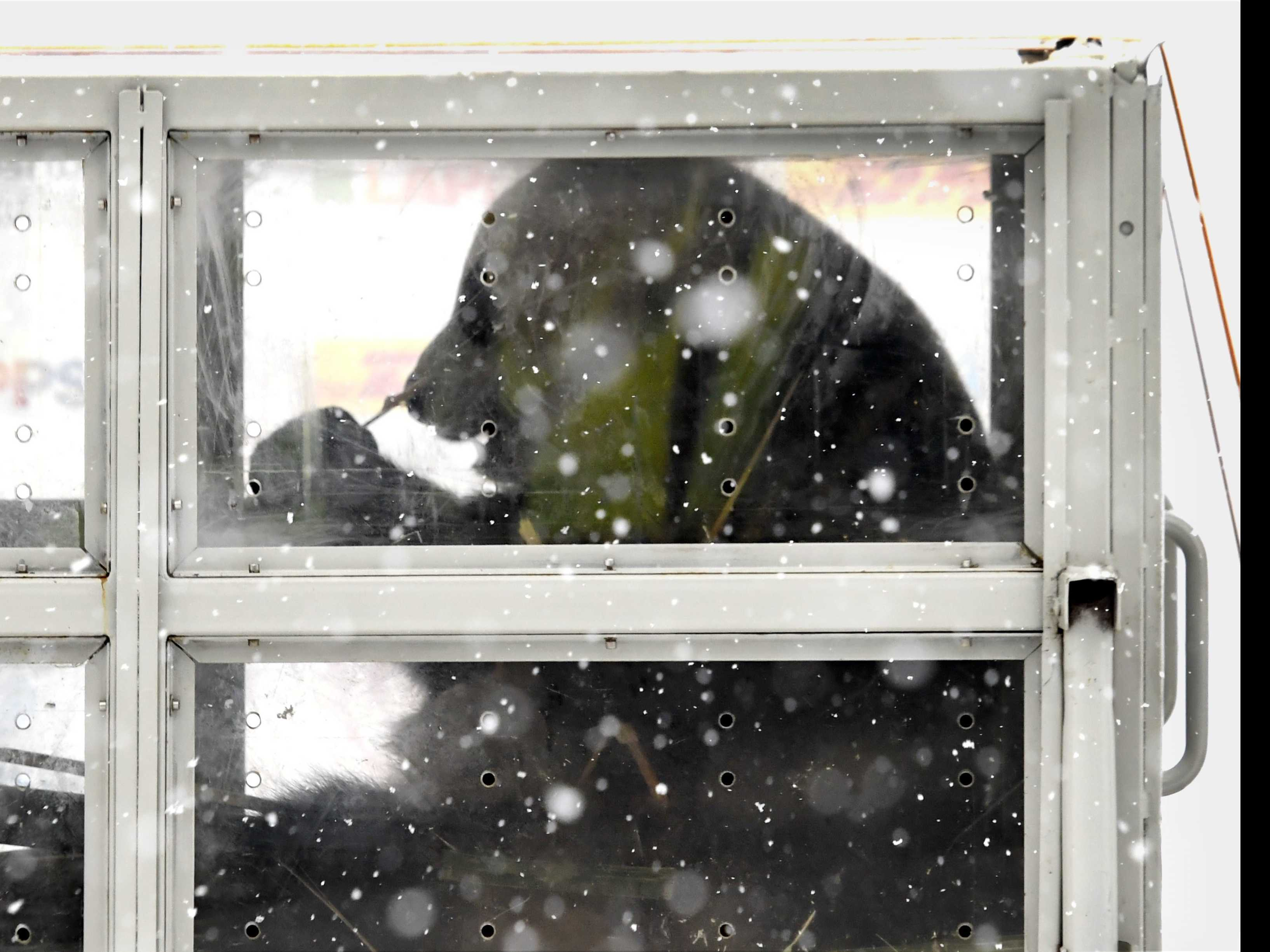 Pair of Chinese Giant Pandas Get Snowy Welcome in Finland