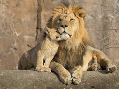 Uganda Says 11 Lions Killed by Suspected Poisoning in Park