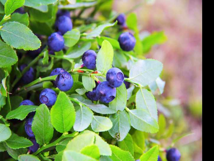 Edible Landscaping: Plant a Berry Bush