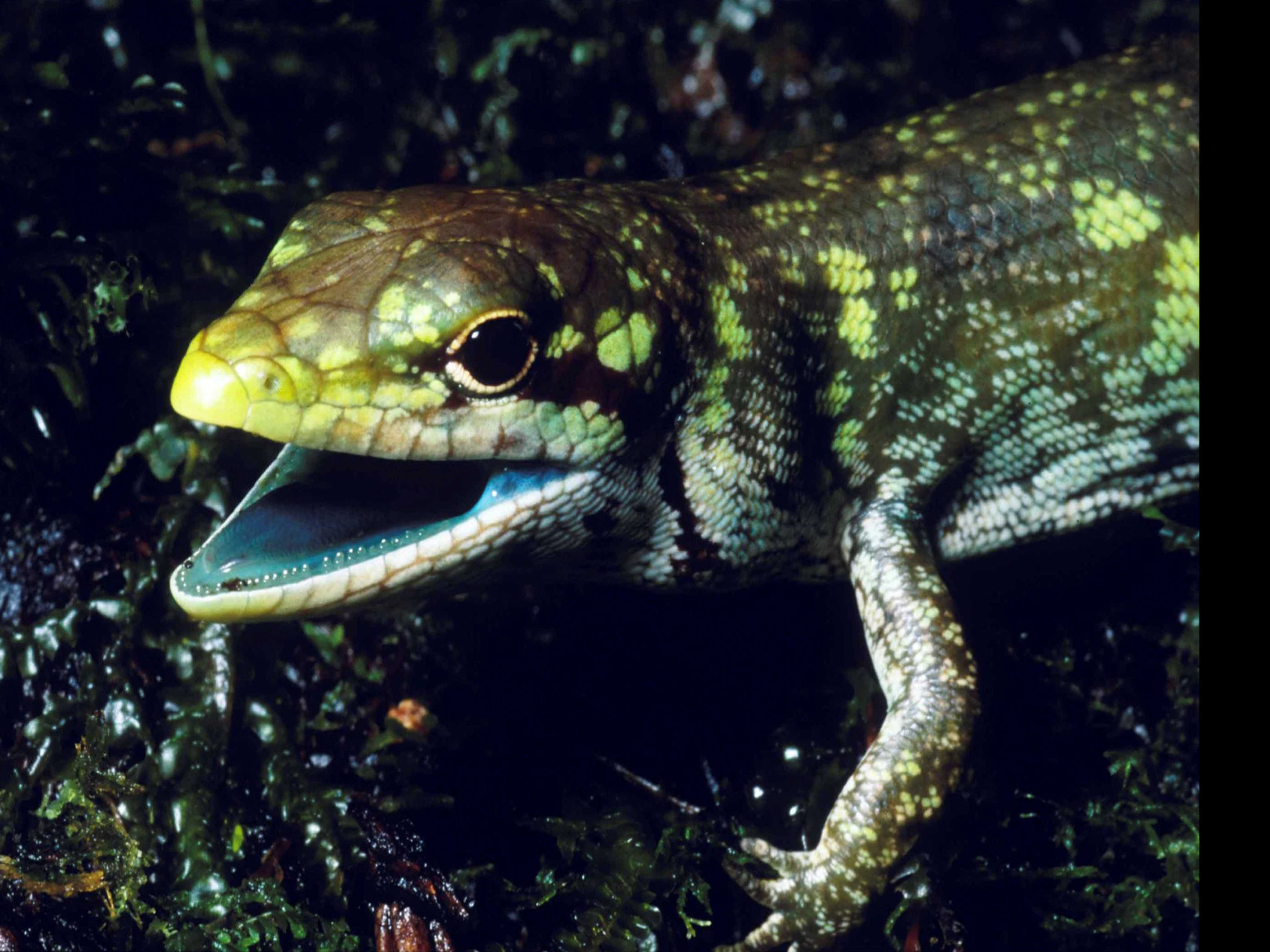 Science Says: Green-Blooded Lizards Pose Evolutionary Puzzle