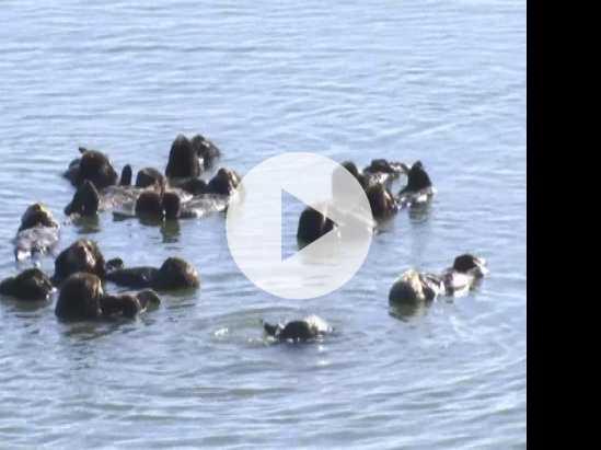 Threatened Sea Otters Struggle to Expand Range
