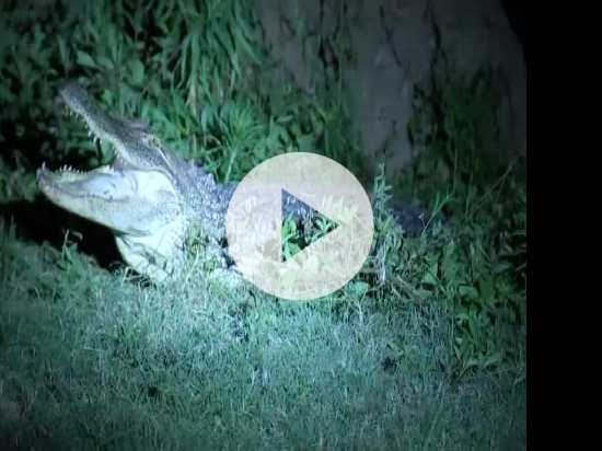 Gator Gives Texas Family a Fright