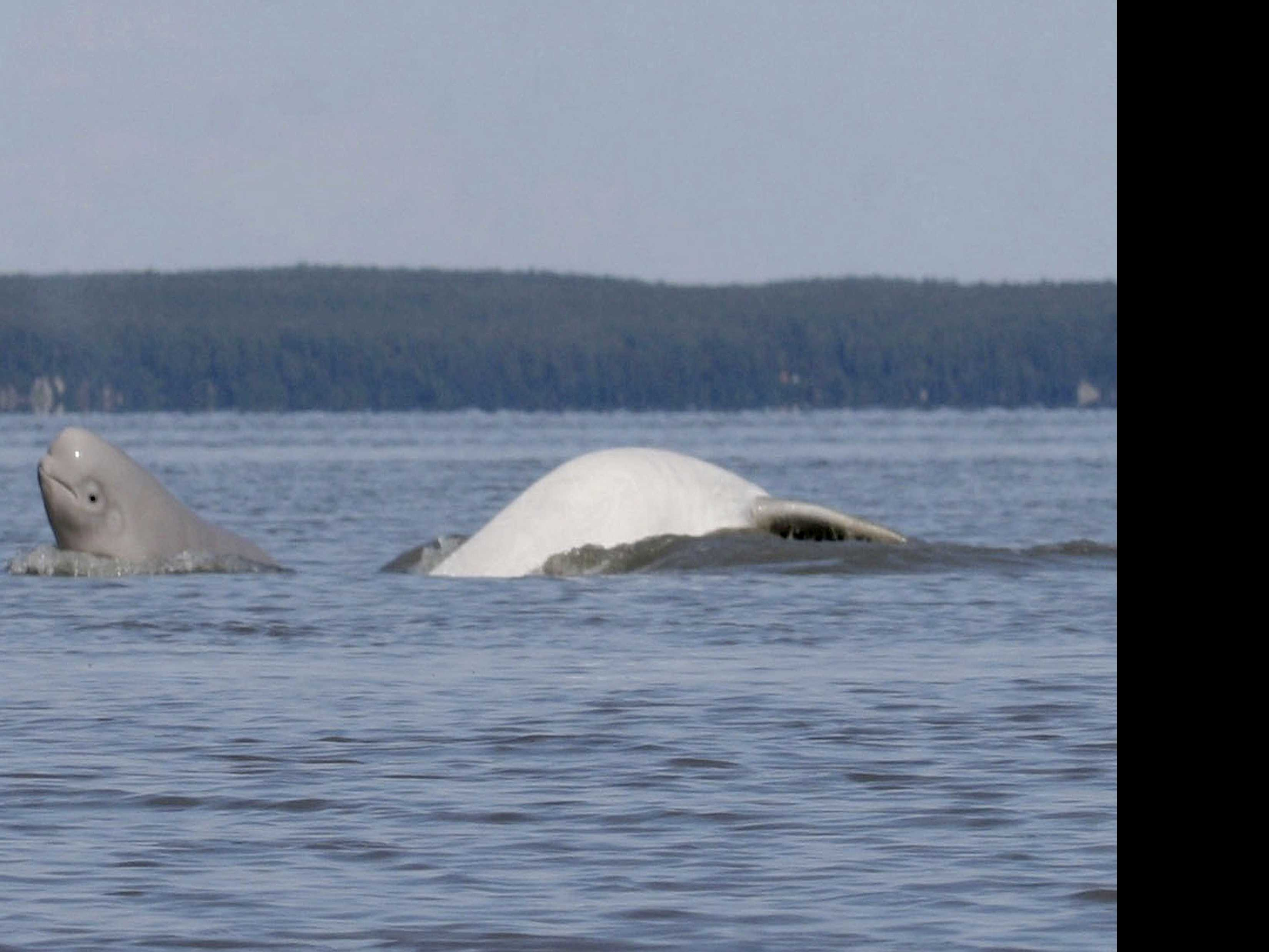 Research Shows Diet Shift of Beluga Whales in Alaska Inlet