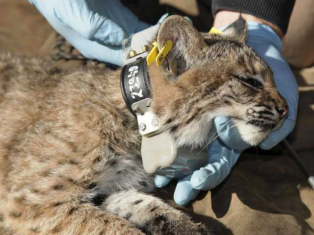 Tracking Bobcats: Researchers Need Help Finding GPS Collars